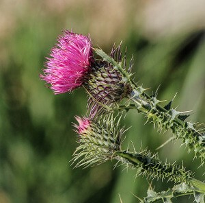 how to use milk thistle leaves
